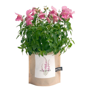 Potting Shed Creations Mini Snapdragon Garden-in-a-Bag