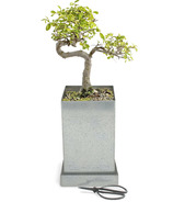 Potting Shed Creations Japanese Elm Bonsai Specimen Bonsai Box